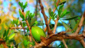 Arganträdets frukt varifrån arganolja utvinns