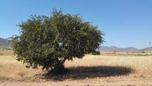 Arganträdet, källan varifrån arganolja skördas