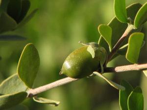 Bild på jojobaplantans frö som innehåller jojobaoljan
