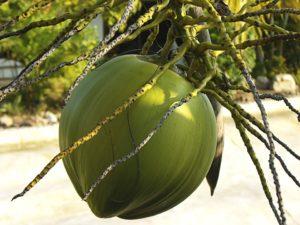 kokosnöt i träd