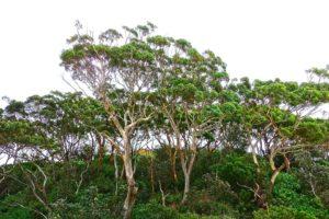 eukalyptusträdet